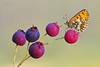 "RED BERRIES (Siprico - Silvano) Tags: natura cernuscosulnaviglio naturalistica macrofografia ""macro floraandfaunaoftheworld siprico fotografianaturalistica 100commentgroup panoramafotográfico pricoco silvanopricoco wwwpricocoorg httpwwwpricocoorg wwwfotografiamacrocom fotografiamacrosbuzznbugzcanonsoloreflexmacrofotografiafotografia"