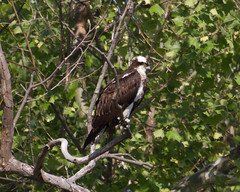 Osprey Photo