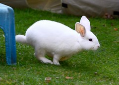 Milly - Mill-Moll (Bucky O'Hare) Tags: rabbit bunny bunnies rabbits bunnie
