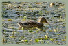 Enjoying the last rays of sun (DirkVandeVelde back) Tags: duck canard eend