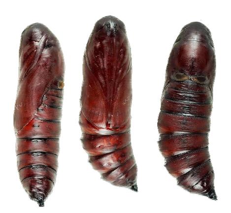 黑褐色型的鬼臉天蛾幼蟲。圖片提供:施禮正。