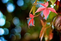 Red and Blue (Basileia Gorgo) Tags: camera blue autumn red green rot fall leaves canon germany deutschland eos 50mm leaf bokeh tag herbst magdeburg grn blau dslr blatt bltter kamera saxonyanhalt sachsenanhalt spiegelreflex niftyfifty 550d eos550d