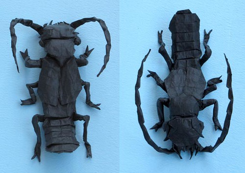 Siagonium humerale (rove beetle)