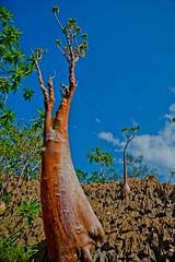 Homhill, garden full of bottles and dragon's blood trees, Soqotra Island, UNESCO, yemen (anthony pappone photography) Tags: trees tree garden plateau yemen bottletree socotra soqotra dixam dirhirdixam arabarabiaunescoislandplantnaturenaturapiantagreendihamriwadiwadi