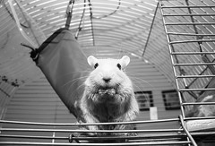 Bottom view (mseolah) Tags: animal gerbil rodent cage eat