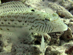 Speckled sandperch
