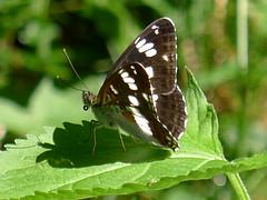 Kleiner Eisvogel White Admiral (Aah-Yeah) Tags: white butterfly bayern camilla admiral kleiner schmetterling fritillary achental limenitis chiemgau eisvogel tagfalter marquartstein