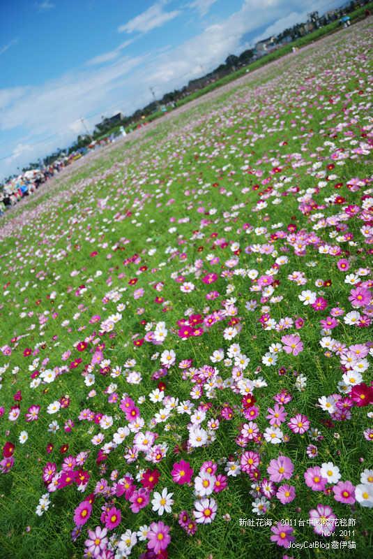 2011_1113_新社花海DSC_3520