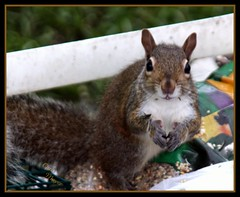 Saying Grace (rapt_in_roses) Tags: squirrel critter