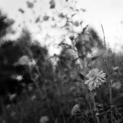 the little cosmos fever. (Jersey Yen) Tags: flowers summer bw film japan blackwhite bokeh hasselblad cropped kiyosato 500cm hassy 2011  itsbeenalongtime