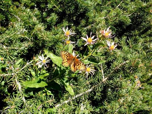 Butterfly and wildflowers on Teanaway Ridge, Okanogan-Wenatchee National Forest, Washington