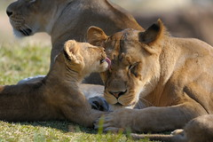 Lioness & cubs at Wild Animal Park in Escondido-47 2-12-08