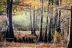 Beyond The Waters (ShutterByMe) Tags: autumn fall woods texas tx foliage bayou swamp cypresstrees caddolake bigcypressbayou karnacktexas