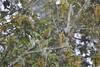 Streaked Spiderhunter (Christophe Maerten) Tags: cloud bird forest highlands hill watching vogels malaysia fraser streaked oiseaux bukit peninsular burung maleisië schiereiland spiderhunter nevelwoud lunnit malaysiathailand2011