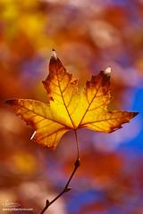 Platano (Pedro Miguel Barreiros) Tags: autumn leaf platano outono 2011 flickrchallengegroup thepinnaclehof thepinnacleblog pmbarreiros tphofweek125