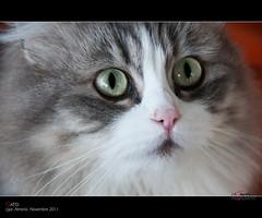 Gato (scarabaeus sacer) Tags: españa andalucía 9 gato otoño almería 2011 a3b nikond300 jatm64 líjar