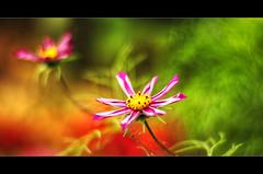 The Art of Focus (alix.kreil) Tags: pink red blur flower color detail green fall nature contrast garden 50mm nikon focus colorful die dof random remain