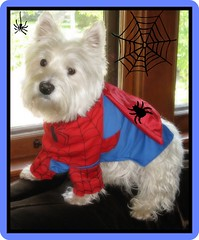 "10/12A ~ Riley ~ ""I'm counting the days til Halloween"" (ellenc995) Tags: riley westie westhighlandwhiteterrier 12monthsfordogs halloween trickortreat costume spiderman october31 coth supershot naturallywonderful naturesfinest coth5 abigfave rubyphotographer pet100 friends 100commentgroup whydtta 5wonderwall photographsandmemories thesuperbmasterpiece yearofholidays pet500 akob pet2000 pet3000 pet4000 pet5000 pet6000 pet7000 pet8000 pet10000 pet20000 pet30000 pet1500 pet1000"