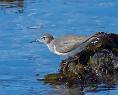 Lesser Yellowlegs Photo