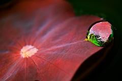 The waterdrop (Deb Jones1) Tags: red nature water beauty leaves canon garden outdoors 1 jones pond flora asia lotus explore waterdrops deb flickrduel debjones1