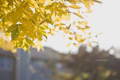 in love with fall (mariosworld343) Tags: autumn light orange brown fall love nature yellow season nikon dof bokeh sigma naturallight tones goldenhour dx lightroom d90 nikond90 sigma50mm14