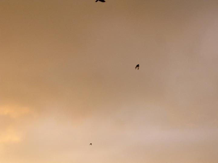 vancouver crow migration 009