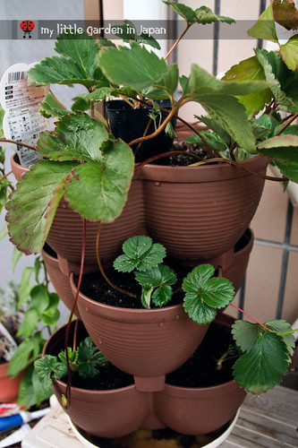 Propagating-the-strawberries