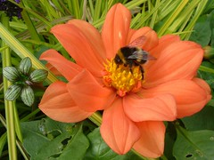 Bumblebee on Orange Pink Dahlia of Southwark Park, London SE16 @ 17 September 2011 (Part 2 of 5) (Kam.Hong Leung) Tags: park pink dahlia summer orange brown plant green london heritage history nature ecology grass fauna garden insect leaf flora community purple wildlife pillar lawn snail conservation twin petal bee bumblebee honey stamen bermondsey environment leisure pollen botany biology horticulture communityservice rotherhithe caryatids southwark biodiversity zoology statute se16 surreydocks londonpark southwarkpark stamina pollinator southwarkcouncil rcsf rotherhithecommunitysafetyforum kamhongleung leungkamhong adasalter friendsofsouthwarkpark lynneolding adasaltergarden