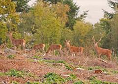 Red Deer at Sunset 15th October 2011 (David Cronin) Tags: red somerset deer reddeer cervuselaphus quantockhills westquantoxhead stapleplain