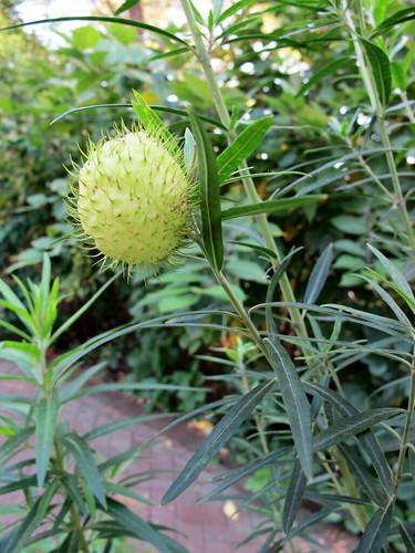 milkweed swanplant gomphocarpusfruticosus