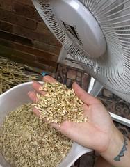 Wheat 12