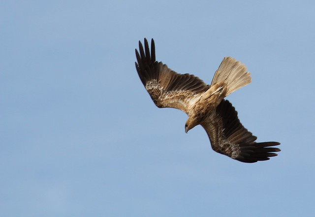 Whistling Kite (Falcon Raptor)