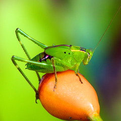 The Grasshopper and the rosehip. (Deb Jones1) Tags: flowers flower macro nature beauty rose canon garden insect outdoors 1 jones flora explore grasshopper blooms deb flickrduel debjones1