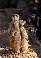 Nothing can stop us ... (RichardBeech (Catching Up)) Tags: london nature canon zoo meerkat wildlife regentspark londonzoo mongoose backtoback zsl richardbeech rdb75