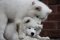 Samoyeds Dog Names Dog Playing Puppy Samoyed