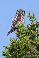 Northern Hawk Owl (Judd Patterson) Tags: alaska owl spruce mosquitoes denalinationalpark northernhawkowl