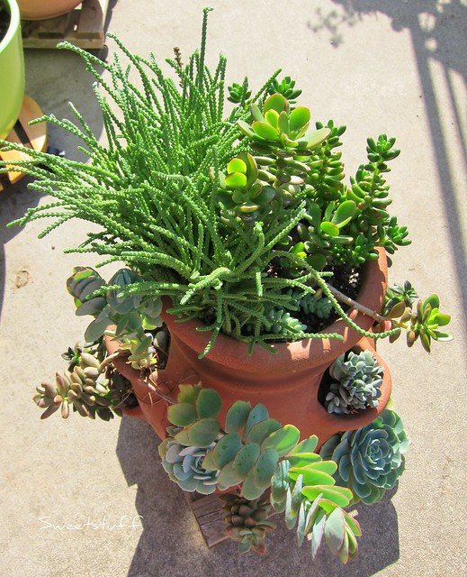 Top view of Succulent strawberry pot