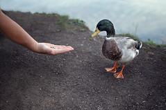 Pepe (next_in_line) Tags: lake male duck hand arm feeding soil pepe