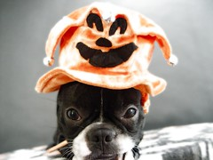 "Oct 27 2011 [Day 361] ""Jack-Jack Our Jester"" (James_Seattle) Tags: dog boston puppy jack bostonterrier october jester sony cybershot 365 year1 jackjack dscf717 jesterhat 2011 sonycybershotdscf717 jamesseattle"