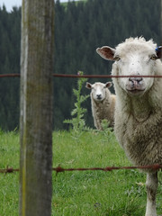 Peek a boo (Home Land & Sea) Tags: newzealand fence sheep nz sonycybershot hawkesbay hff taradale fencedfriday homelandsea dolbelreserve dschx100v