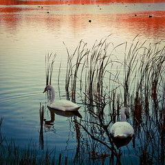 Young Swans (Talliebally - on & off) Tags: shadow lake holland colour water dutch birds square edited flag fave swans redwhiteblue eveninglight kennemerduinen bloemendaal vlag 500x500 roodwitblauw lightroom3 talithahoppe