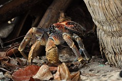 The Robber Crab (RyshardAntonio) Tags: island photography nikon wildlife indianocean tropical tropicalisland 70300mm yourfavorites christmasisland 2011 d90 robbercrab attentionwhores builtlikeatank nikkor70300mmf4556gifedafsvr thechallengefactory ryshardantonio thepinnaclehof pregamewinner tphofweek122 truerysontwitter