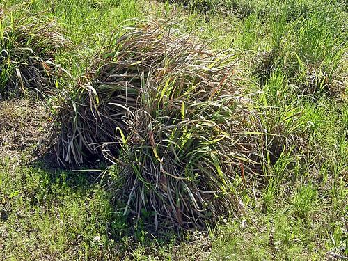 Cymbopogon - Imágenes del Mundo Vegetal - Im. Plantas - Galería de ... 7abadfadcf0