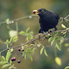 red berry, black bird (Black Cat Photos) Tags: uk autumn england bird nature beautiful canon blackcat photography photo berry europe berries wildlife m blackbird hawthorn blackcatphotos
