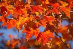 Peak season (Johan_Leiden) Tags: red usa leaf maple newengland newhampshire franconia foliage columbusday franconianotchstatepark leafpeeping foliageseason