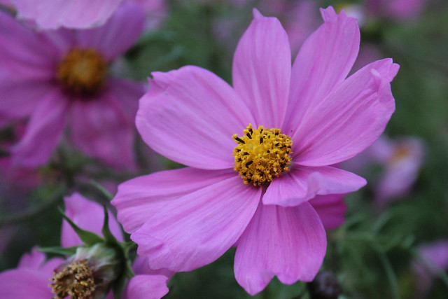 Cosmos close up