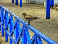 Antofagasta Chile - Terminal Pesquero ave en baranda (Victorddt) Tags: chile bird ave sonycybershot antofagasta dsch55