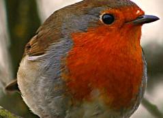 ROBIN Red Breast (ianharrywebb) Tags: nature robin iansdigitalphotos blinkagain yahoo:yourpictures=wildlife yahoo:yourpictures=nature
