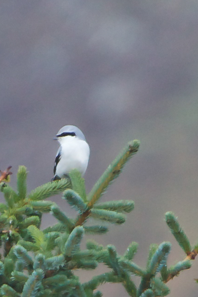 Great Grey Shrike - Lanius excubitor - Grásvarri