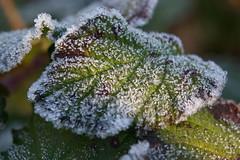 Frissons d'automne (Luc Marc) Tags: morning november autumn light cold macro ice automne leaf frost novembre quebec lumire dew qubec froid glace feuille matin rose frimas